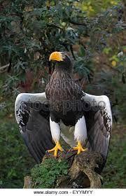 Image result for steller's sea eagle vs golden eagle Steller's Sea Eagle, Golden Eagle, Bald Eagle, Tattoo, Bird, Nature, Animals, Image, Naturaleza