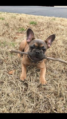 French Bulldog Puppy with a Stick #buldog
