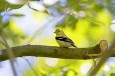 Lemondrop | American Goldfinch