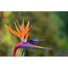 Semillas de Flor del Pájaro o Strelitzia Reginae - Tienda Virtual de Semillas Exóticas en Chile | Semillas del Mundo | Semillas exóticas Chile.