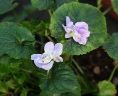 Viola odorata 'Bethan Davies'