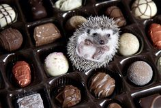 Sigh. If only life were as sweet as chocolate. | 25 Hedgehogs Trying To Escape Their Identity