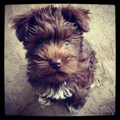 Miniature schnauzer puppy. :)