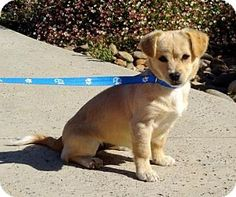 Lathrop, CA - Jack Russell Terrier/Tibetan Spaniel Mix. Meet Dazzle, a puppy for adoption. http://www.adoptapet.com/pet/15202279-lathrop-california-jack-russell-terrier-mix