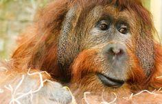 Orangutans are the most rare Animals in the world- Save Orangutan – Say no to Palm Oil – Orangutans Endangered