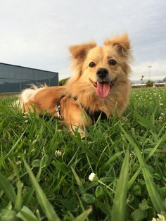 Pomeranian-Corgi mix:::looks just like Dan Corgi Mix Breeds, Dog Breeds, Corgi Pomeranian Mix, Pomeranian Haircut, Yorkie Puppies, Pitbull Terrier, Terrier Mix, Pom Dog, Basic Dog Training