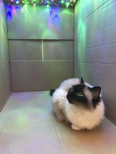 This cat loves the Northern Lights so he added this to his box.