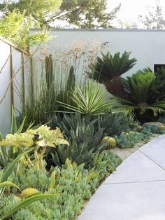 for our rental senecio, agaves, kangaroo paws, sago palms, succulents