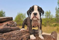 Cabo, Kahlua, Nacho or Rio are great popular Boxer dog names for the pup that's a party animal. Find more here... http://www.dog-names-and-more.com/Boxer-Dog-Names.html