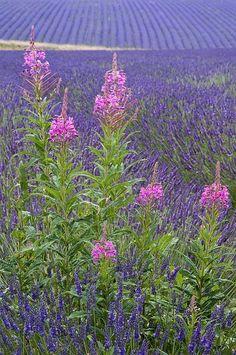 Lavender Fields, Gloucestershire, England, UK