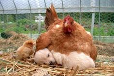 Imagine if people were this accepting of others that seemed completely different from themselves. What a generous hen :) and chick for giving up his warm spot