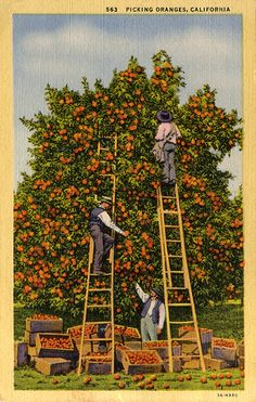 Picking Oranges in California, Vintage Postcard