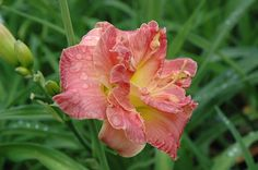 Lacy Doily Daylily (Hemerocallis 'Lacy Doily') at Garden Supply Company