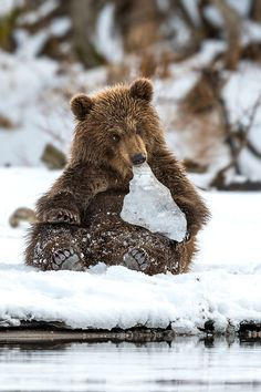 1 - Brown Bear Cub Likes to Play With Peace of Ice