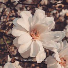 Magnolia x loebneri 'Mag's Pirouette' #gardening #tuinieren #jardinage #gartenarbeit #magnolia #flowers #bloemen #fleurs #blumen #tree #boom #arbre #baum #hortusconclusus #treenursery #boomkwekerij #pépinière #baumschule #uitbergen #berlare #zele #wichelen #schellebelle #lokeren #schoonaarde #dendermonde #laarne #beervelde #kalken #wetteren