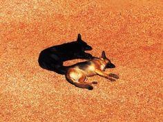 miracle shot, black & brown dog
