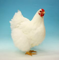 Beautiful White Wyandotte hen. Won, Best Large Soft Feather, White Wyandotte Female, M.Vaughan