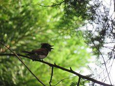 サンコウチョウ メス. a female of Japanese Paradise Flycatcher.  She is calling towards a nearby male . 16 July 2016.