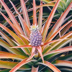 Did you know pineapples start off as beautiful purple and pink flowers? The Salty Pineapple Shop