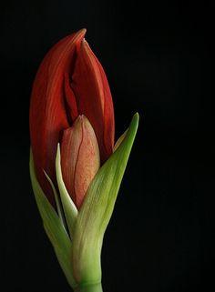 Amaryllis on Black Tulips Flowers, Big Flowers, Flowers Nature, Amazing Flowers, Planting Flowers, Beautiful Flowers, Flower Images, Flower Pictures, Flower Art