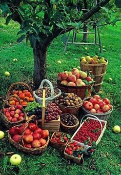 A small orchard full of fruit trees for fresh fruit and jams/sauces/relishes