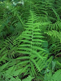Marsh Fern Care And Information – Growing Marsh Ferns In The Garden