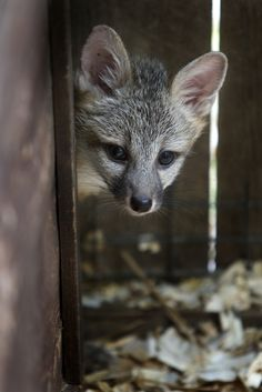 shy gray fox | animal + wildlife photography