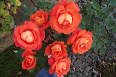 A bunch of orange roses bloom in this snap from R Bacon, Salisbury