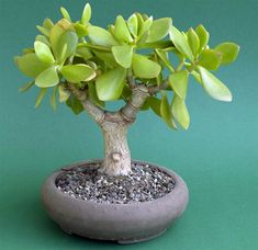 Seeds - 10 Jade Tree - Crassula ovata Bonsai Seed - Indigenous Succulents was listed for on 13 May at by Seeds and All in Port Elizabeth Echeveria, Crassula Succulent, Succulent Bonsai, Succulents In Containers, Cacti And Succulents, Planting Succulents, Planting Flowers, Jade Bonsai, Mini Bonsai