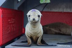 "THIS JUST IN from Cuteporter KB: ""There's currently a Sea Lion pup crisis along California shores – so many of them are starving and in need of help. California Wildlife Center in Malibu is one of the facilities rescuing the Bebehs and caring for them until they're healthy enough to return to the ocean"