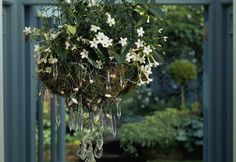 Jasmine—Growing Jasmine Indoors:  J. polyanthum aka pink jasmine, Chinese jasmine, winter-blooming jasmine