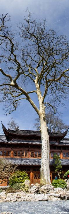 A tree growns in CHINA