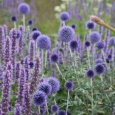 Echinops ritro 'Veitch's Blue' - globe thistle Echinops ritro 'Veitch's Blue' - A wonderfully spiky tall summer flowering perennial, with blue spherical blooms, resembling a mace in form. Best grown on loose soil in full sun, and a wonderful cut flower. Cut Flowers, Purple Flowers, Summer Flowers, Tiny Flowers, Plant Design, Garden Design, Design Design, Beautiful Gardens, Beautiful Flowers
