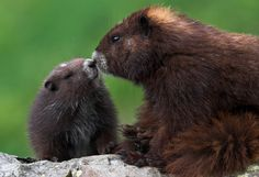 The feisty Vancouver Island Marmot is Canada's most endangered mammal with only an estimated 30 living in the wild in 2003. However, institutions like the Calgary and Toronto Zoos launched aggressive breeding and release programs that have since bolstered the wild population to 200 or more.