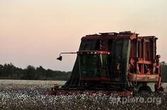 Cotton Picker, Shaw Mississippi