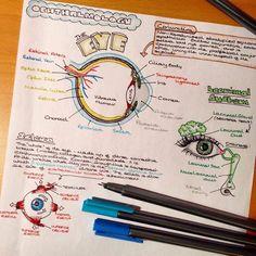 Anatomia Humana Olhos