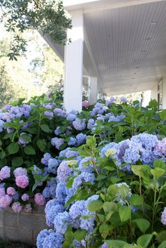 Line the front of the house with a bunch of hydrangeas for a full effect.
