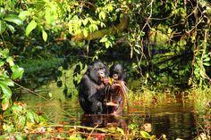 "Bonobo ""Speech"" Is Similar To Human Baby Talk   IFLScience"