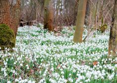 National Collection of Galanthus (snowdrops) at Cambo Estate  http://www.cambosnowdrops.com/