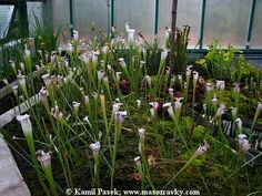 Blog | Masožravé rostliny neboli masožravky – zelení dravci v rostlinné říši