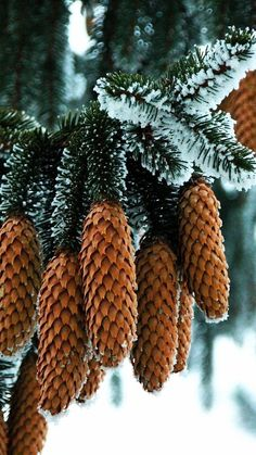 Pine Cones by Rausch Wilhelm Winter Szenen, I Love Winter, Winter Magic, Winter Christmas, Christmas Trees, Christmas Morning, Winter White, Christmas Christmas, L Wallpaper