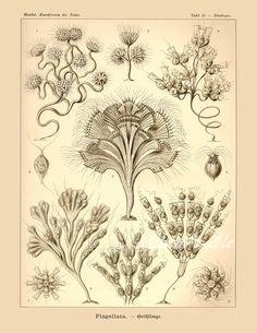 Stylistic Microscopic Algae Ernst Haeckel Marine Biology Art Print