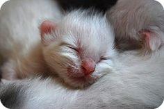6 / 15 - Belview, MN - Domestic Mediumhair. Meet 3 kittens, a kitten for adoption. http://www.adoptapet.com/pet/13013155-belview-minnesota-kitten