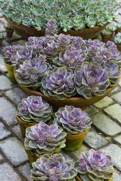 Google Image Result for http://floradania.dk/fileadmin/s3/planter/Echeveria/hybrid/Echeveria_sempervivum.jpg