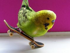 *Skate Boarding Budgerigar - Mike keeps talking about animals with their skateboards and their Walkmans (now mp3 players, I suppose) Well, here's one for real! :>O<: