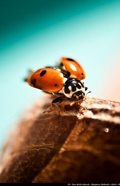 Lady Bug : Coccinelle : France : Nikon D90 | Flickr - Photo Sharing!