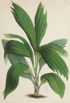 James Andrews Palm-geonema lacerata Pl. 446