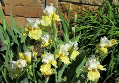 Photo of Tall Bearded Iris (Iris 'Melted Butter') uploaded by Bloombuddie
