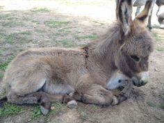 """""""Georgie"""" of Patina Farm Baby Donkey, Cute Donkey, Mini Donkey, Baby Cows, Baby Elephants, Cute Baby Animals, Farm Animals, Animals And Pets, Wild Animals"""