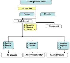 Gram Negative Bacteria Flow Chart | Gram Positive Cocci Identification Chart